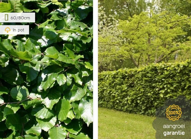 De meest bekende van de Nederlandse haagplanten: de cipres